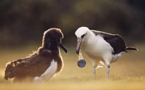 Laysan-Albatross-Carrying-002
