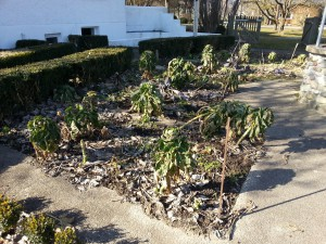 Rosenkohl im Winter ernten IMG_20160227_144435