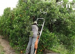 orange tree harvest by hand