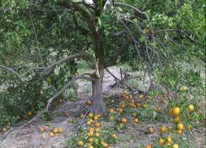 orange tree harvesters damage to tree