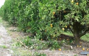 orange tree harvesters damage to tree2