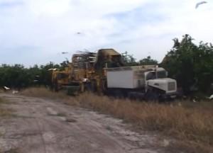orange tree harvesters in action