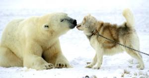 Eisbär freundet sich mit Schlittenhund an - ice bear and dog friends