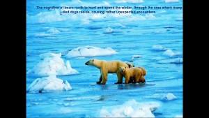 Norbert Rosing - Churchill Monitoba - Polar Bears play with Dogs - Screenshot from 2016-03-30 12:07:29