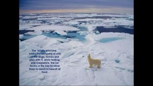 Norbert Rosing - Churchill Monitoba - Polar Bears play with Dogs - Screenshot from 2016-03-30 12:07:49