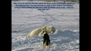 Norbert Rosing - Churchill Monitoba - Polar Bears play with Dogs - Screenshot from 2016-03-30 12:09:04