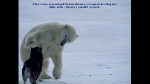 Norbert Rosing - Churchill Monitoba - Polar Bears play with Dogs - Screenshot from 2016-03-30 12:09:12