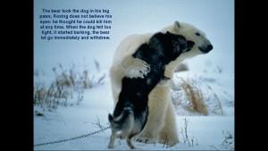 Norbert Rosing - Churchill Monitoba - Polar Bears play with Dogs - Screenshot from 2016-03-30 12:09:22