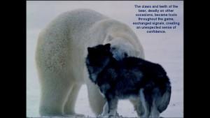 Norbert Rosing - Churchill Monitoba - Polar Bears play with Dogs - Screenshot from 2016-03-30 12:09:37