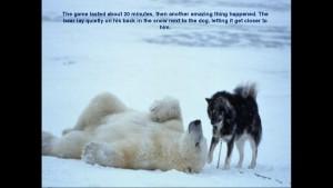 Norbert Rosing - Churchill Monitoba - Polar Bears play with Dogs - Screenshot from 2016-03-30 12:09:44