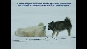 Norbert Rosing - Churchill Monitoba - Polar Bears play with Dogs - Screenshot from 2016-03-30 12:09:57