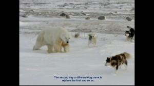 Norbert Rosing - Churchill Monitoba - Polar Bears play with Dogs - Screenshot from 2016-03-30 12:10:08
