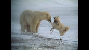 Norbert Rosing - Churchill Monitoba - Polar Bears play with Dogs - Screenshot from 2016-03-30 12:10:25
