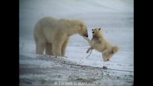 Norbert Rosing - Churchill Monitoba - Polar Bears play with Dogs - Screenshot from 2016-03-30 12:10:25