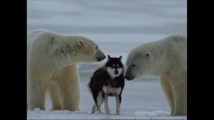 Norbert Rosing - Churchill Monitoba - Polar Bears play with Dogs - Screenshot from 2016-03-30 12:10:30