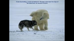 Norbert Rosing - Churchill Monitoba - Polar Bears play with Dogs - Screenshot from 2016-03-30 12:10:38