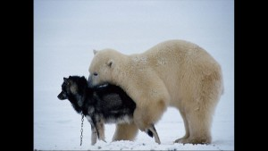 Norbert Rosing - Churchill Monitoba - Polar Bears play with Dogs - Screenshot from 2016-03-30 12:10:51