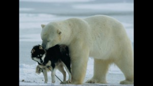 Norbert Rosing - Churchill Monitoba - Polar Bears play with Dogs - Screenshot from 2016-03-30 12:10:56
