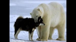 Norbert Rosing - Churchill Monitoba - Polar Bears play with Dogs - Screenshot from 2016-03-30 12:11:01